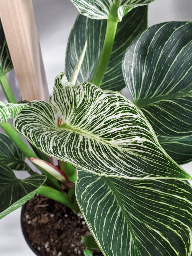 Philodendron Birkin Care