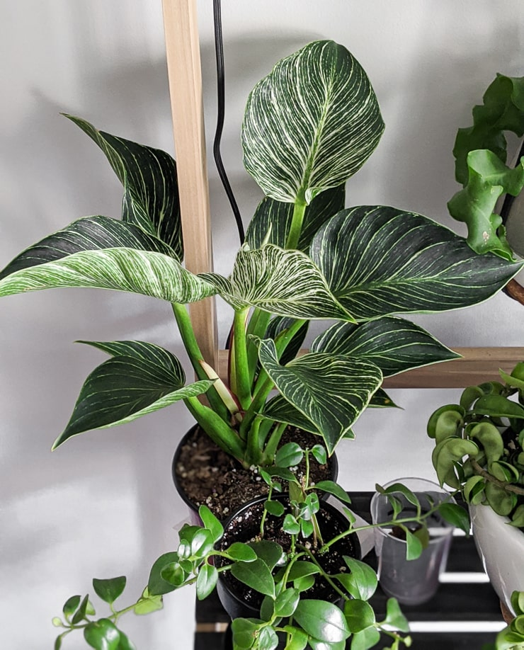 Beautiful Philodendron Birkin