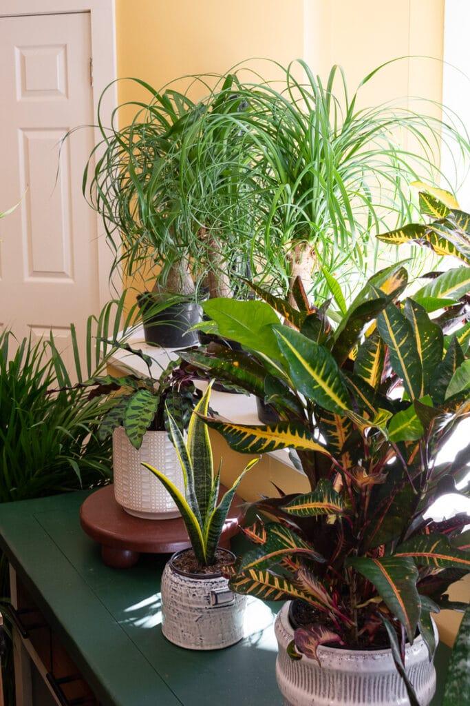 beautiful ponytail palm