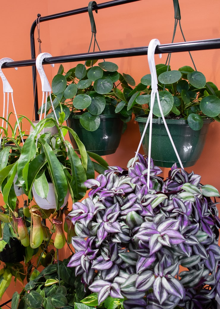 beautiful hanging plants at Take Root Houseplant Shop