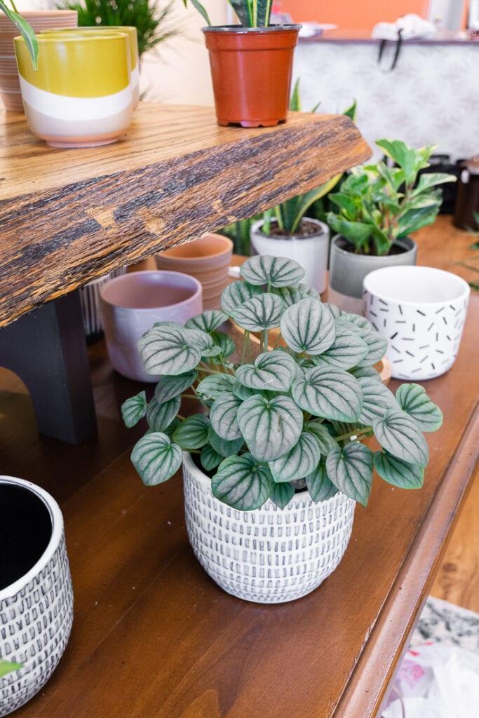 beautiful peperomia plant