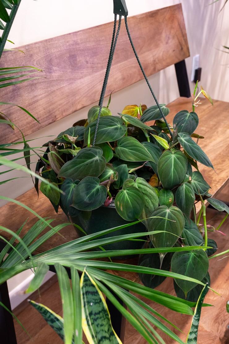 beautiful hanging plant at Take Root Houseplant Shop