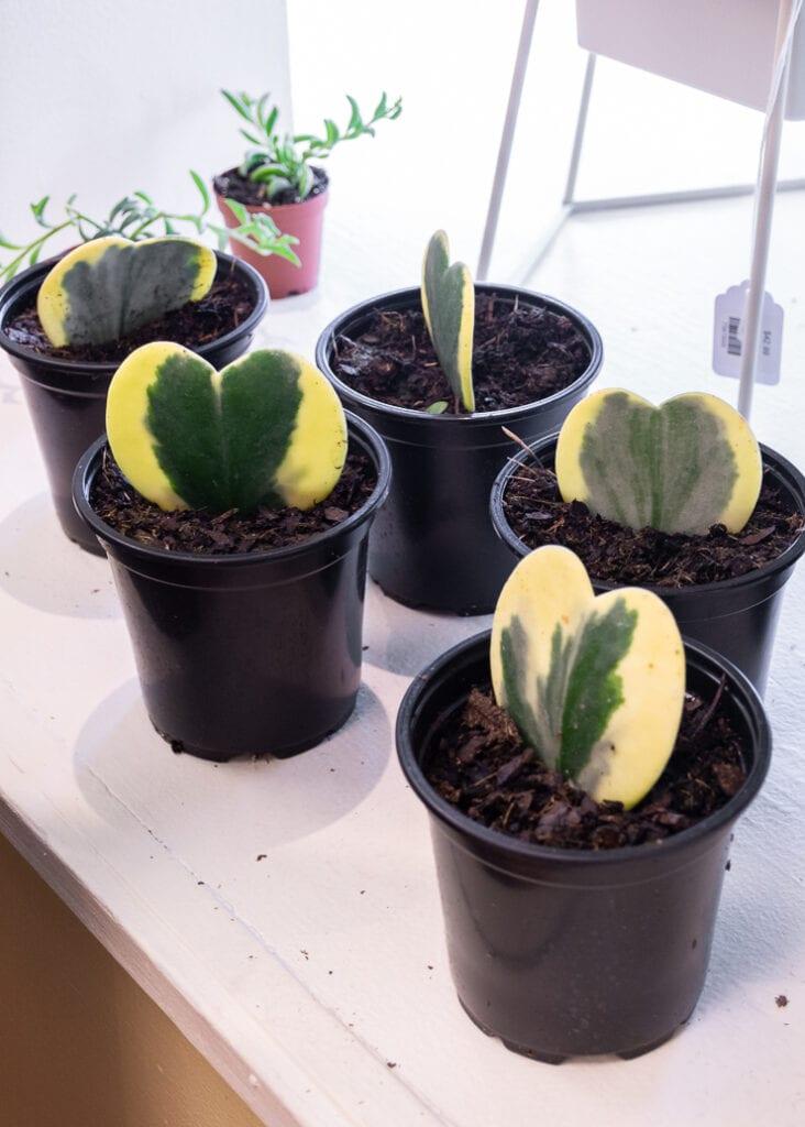 variegated hoya kerii