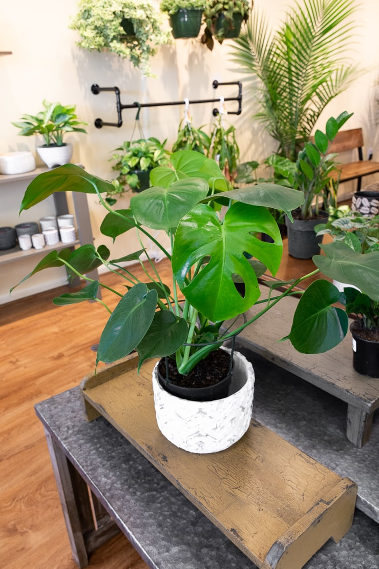 Monstera deliciosa at Take Root Houseplant Shop in Frederick, MD