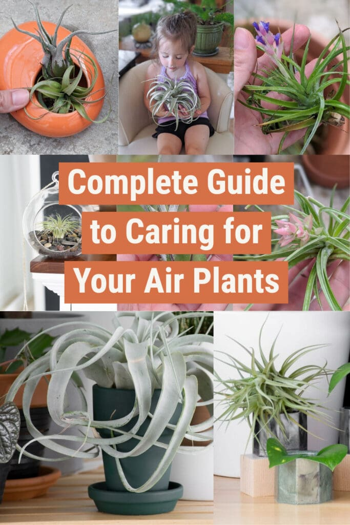 image collage of how to care for air plants with text Complete Guikde to Caring for Your air Plants