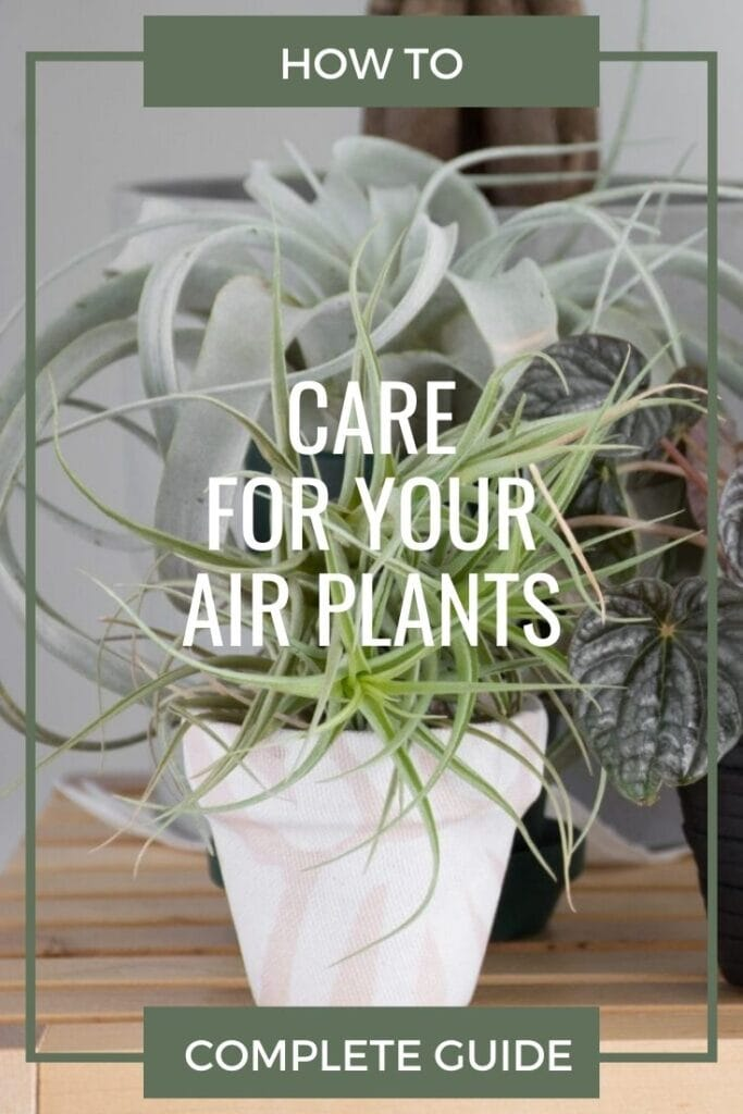 air plant in white pot with text How to Care for Your Air Plants complete guide