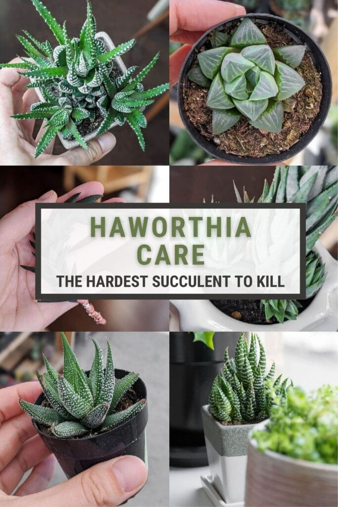 image collage of Haworthia succulents with text Haworthia Care, the hardest succulent to kill