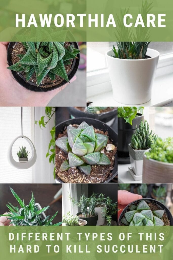 image collage of Haworthia succulents with text Haworthia Care Different types of this hard to kill succulent,