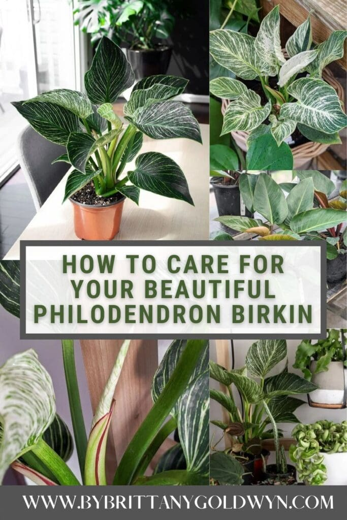 image collage of Philodendron Birkin care with text overlay