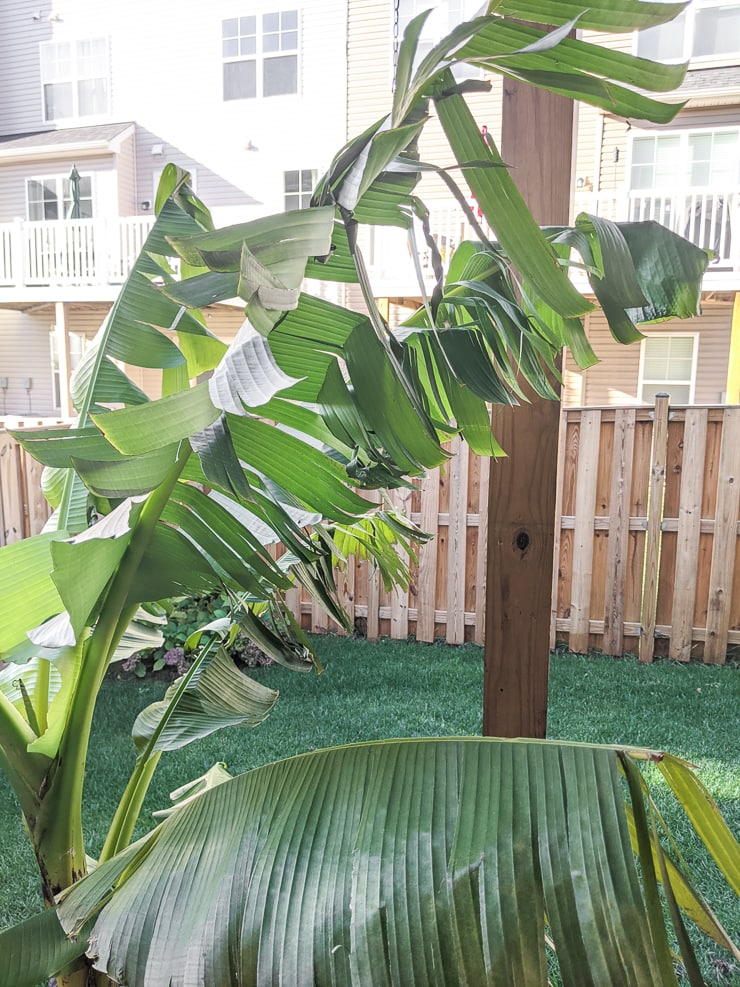 banana plant in cold weather before cutting it down for the season