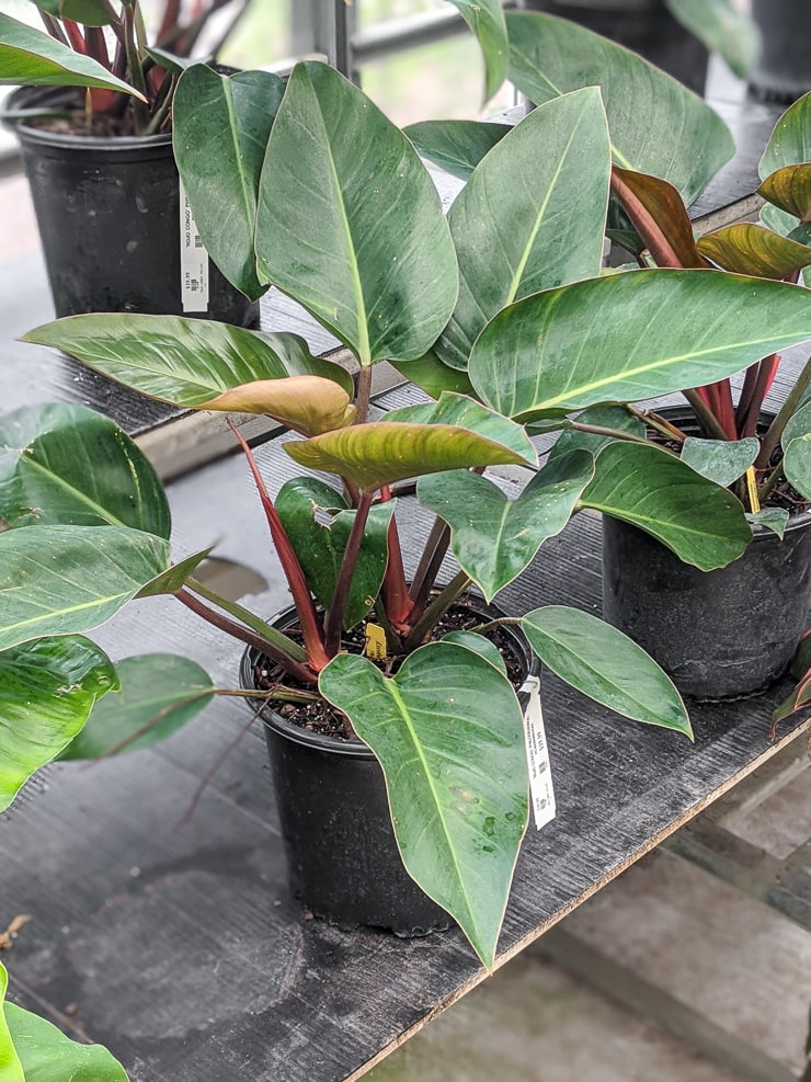 red congo philodendron