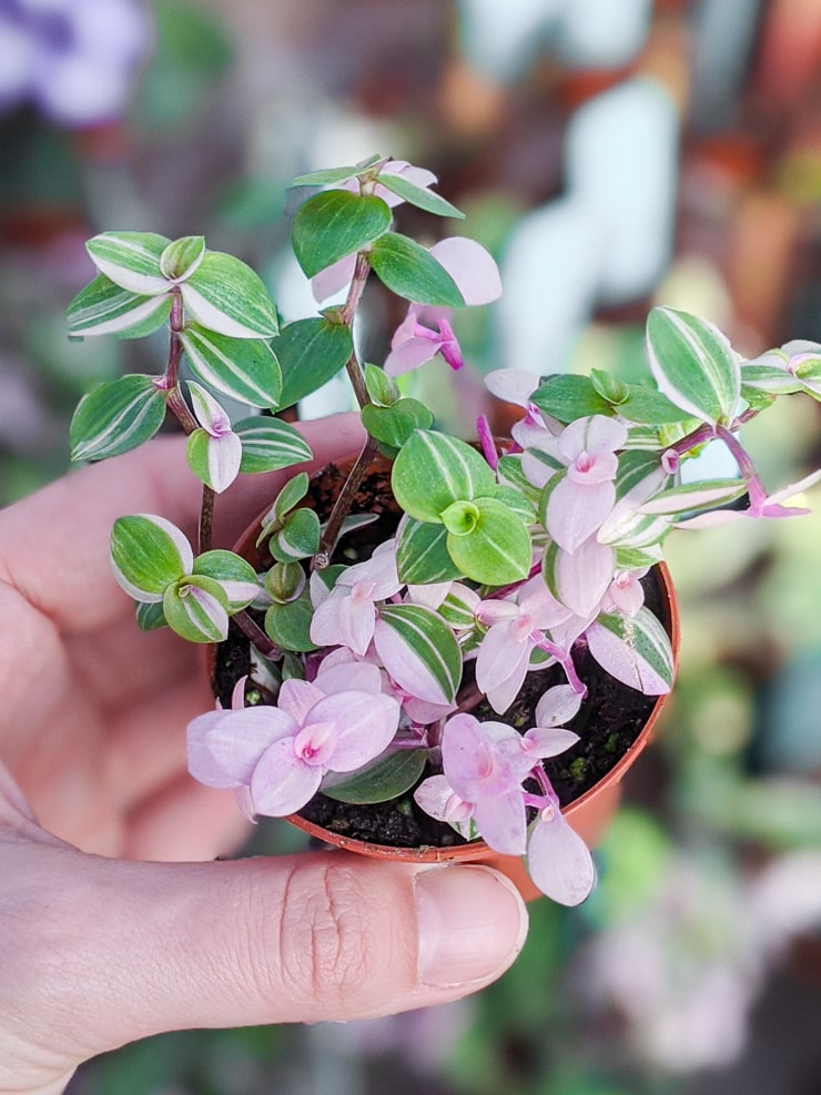 highly variegated Callisia repens