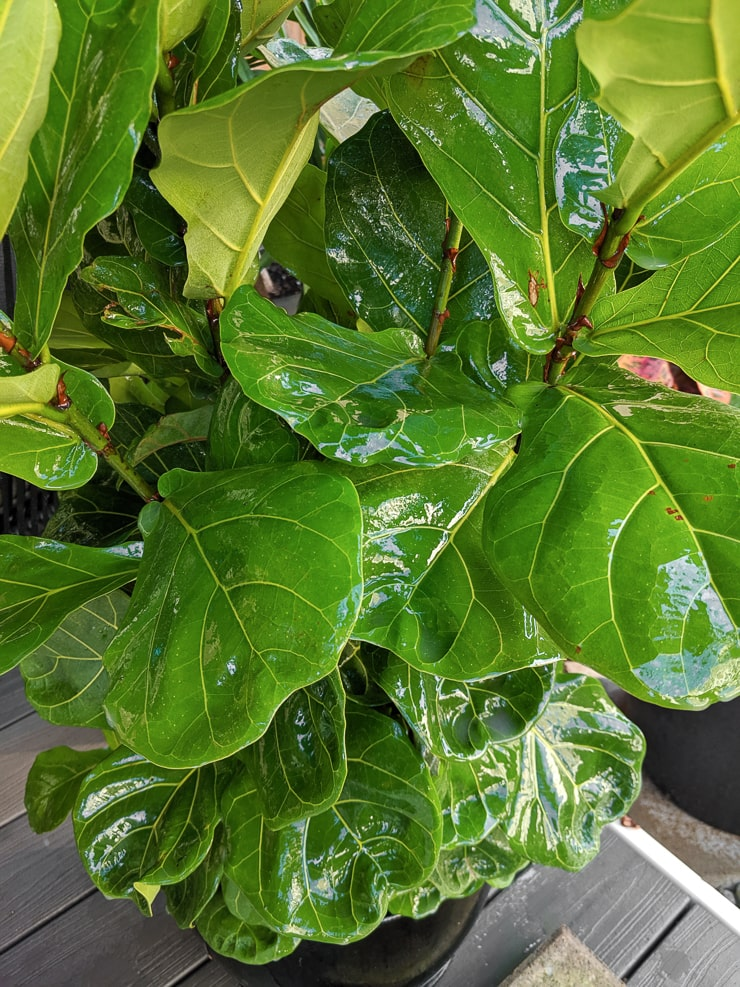 treating houseplant soil with neem oil and soapy water