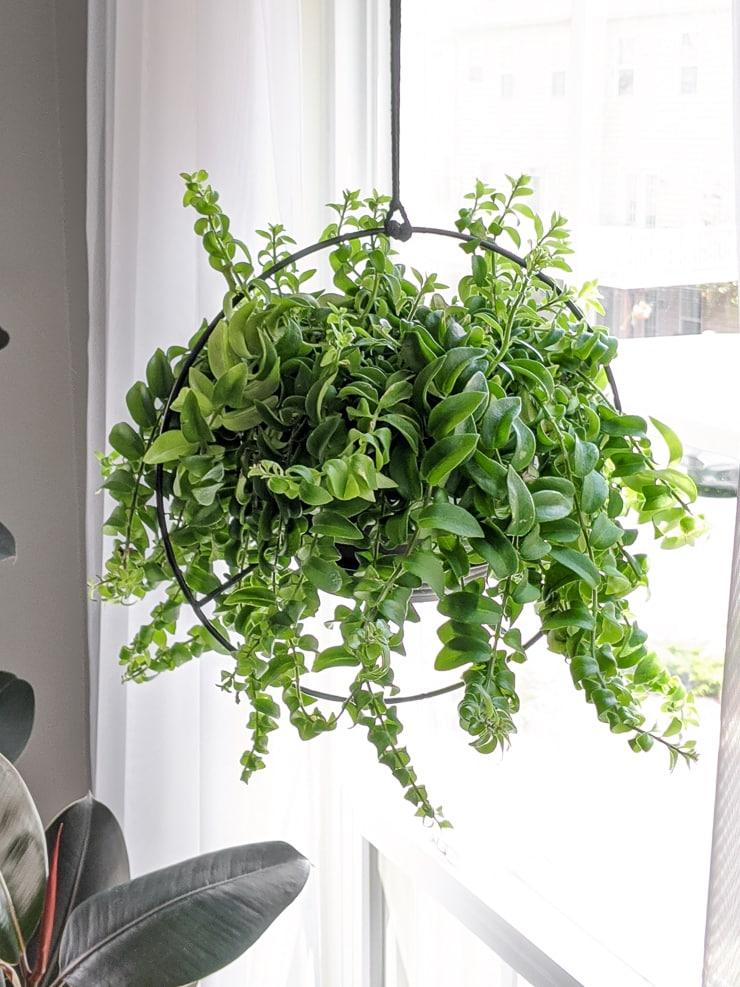 hanging curly lipstick plant