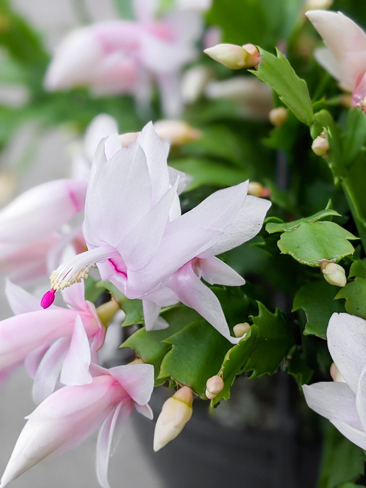 flowering holiday cactus plant