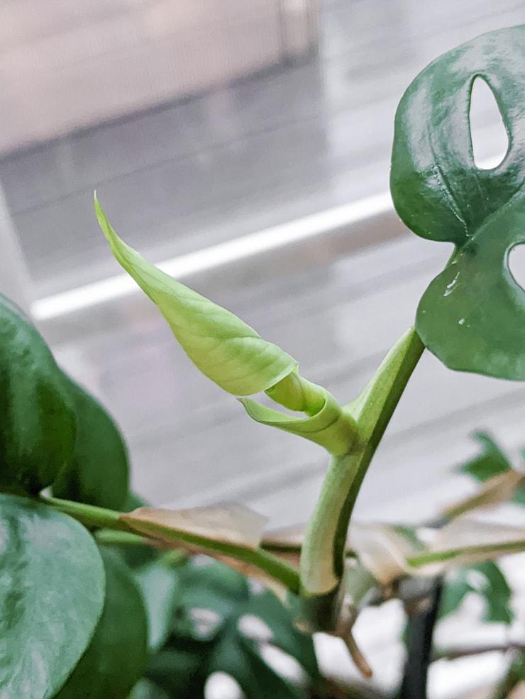rhaphidophora tetrasperma leaf unfurling