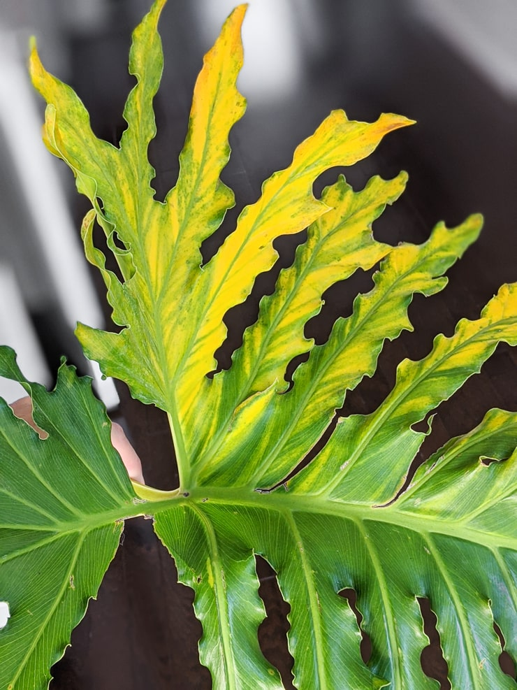 philodendron selloum yellow leaves