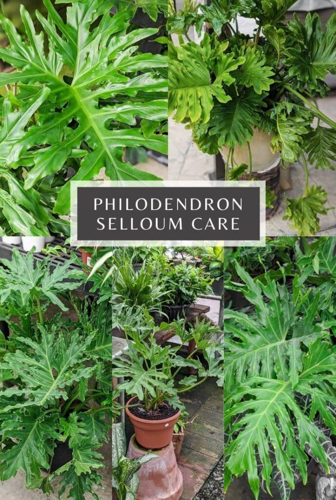 philodendron selloum care