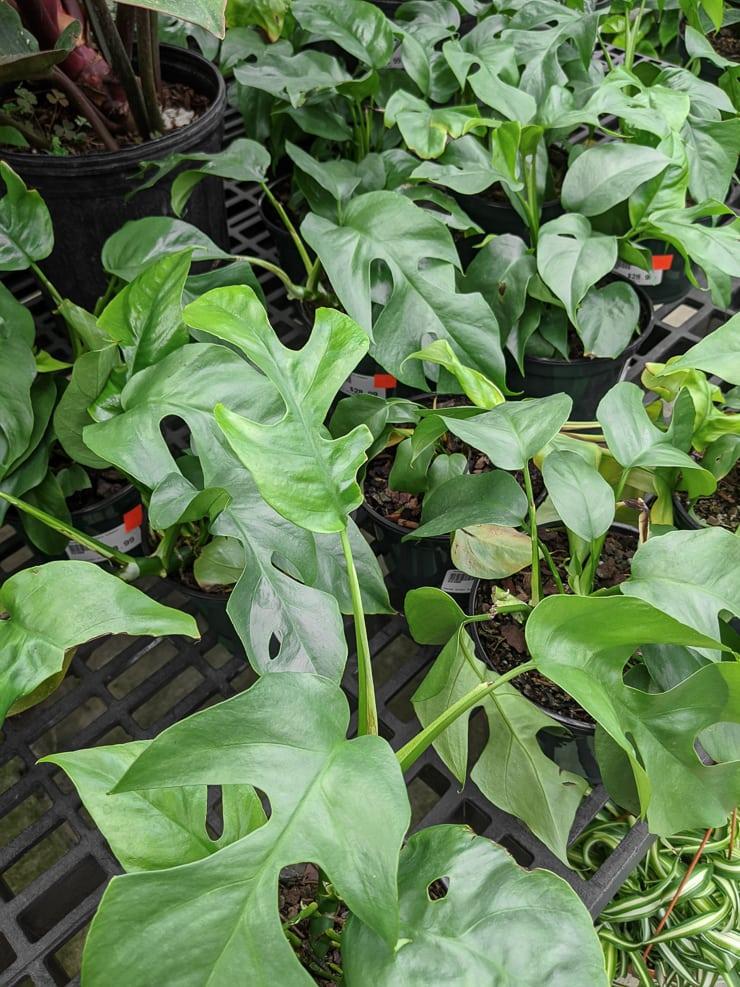 rhaphidophora tetrasperma plants