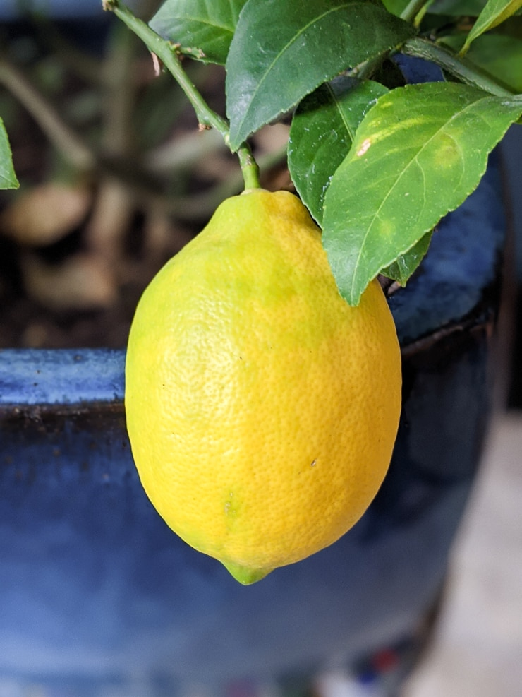 ripe meyer lemon indoors on a potted lemon tree