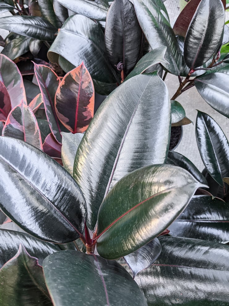 how to care for a rubber plant