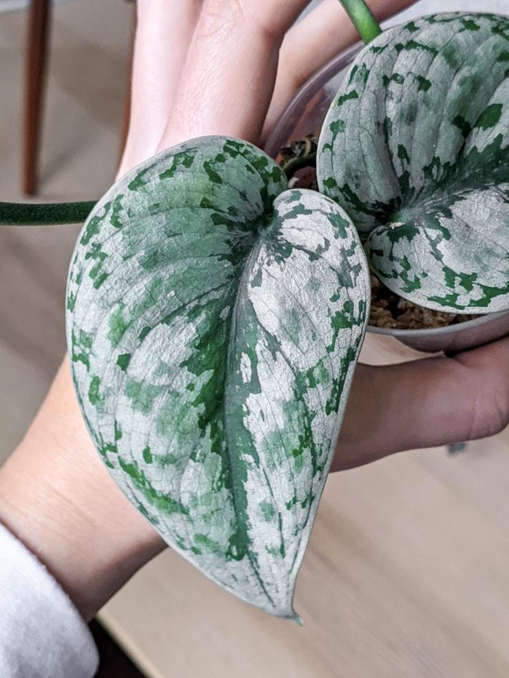 scindapsus pictus exotica leaf