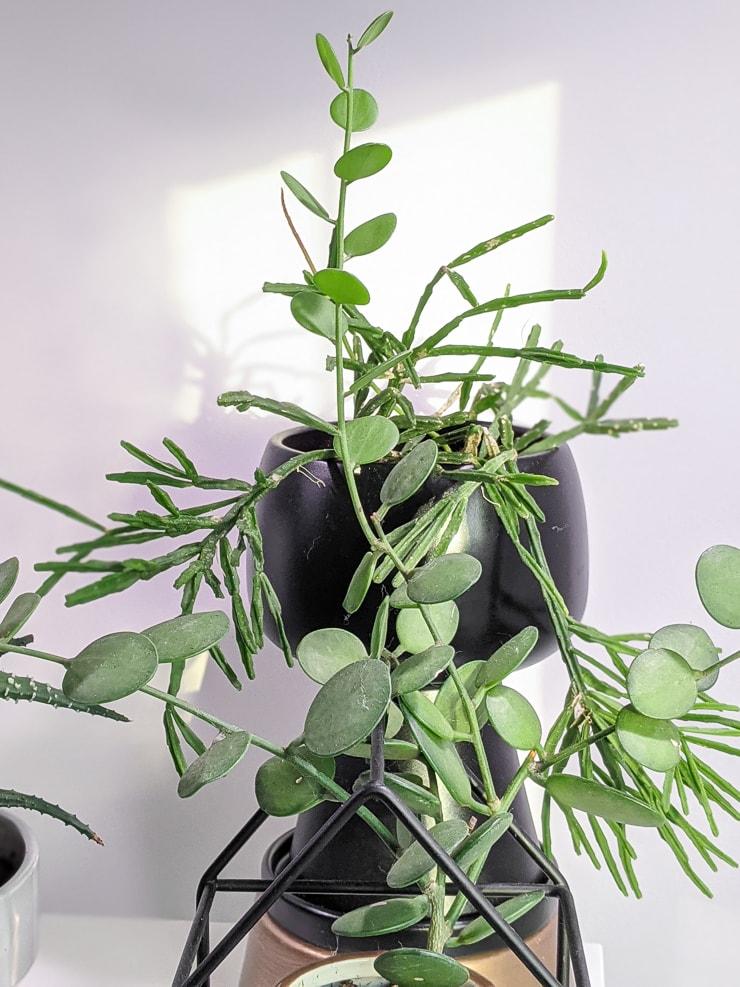 silver dollar succulent care