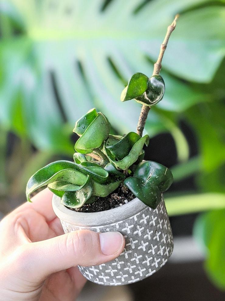 small hoya rope plant