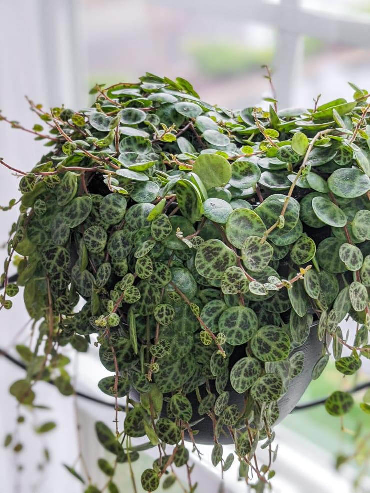 large hanging string of turtles plant