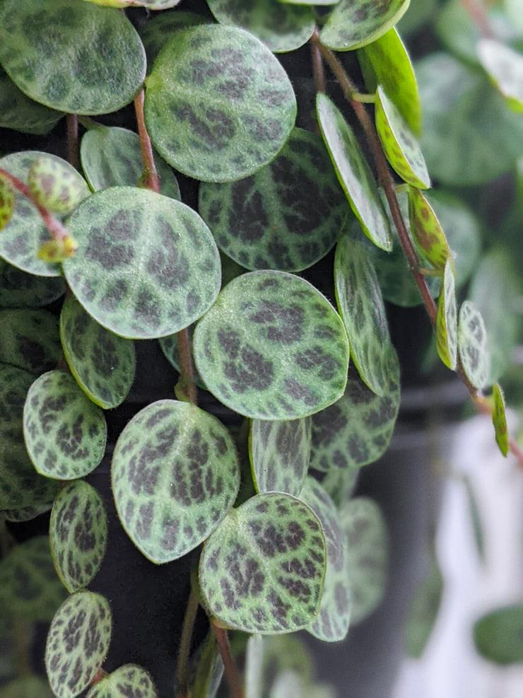 beautiful Peperomia prostrata plant