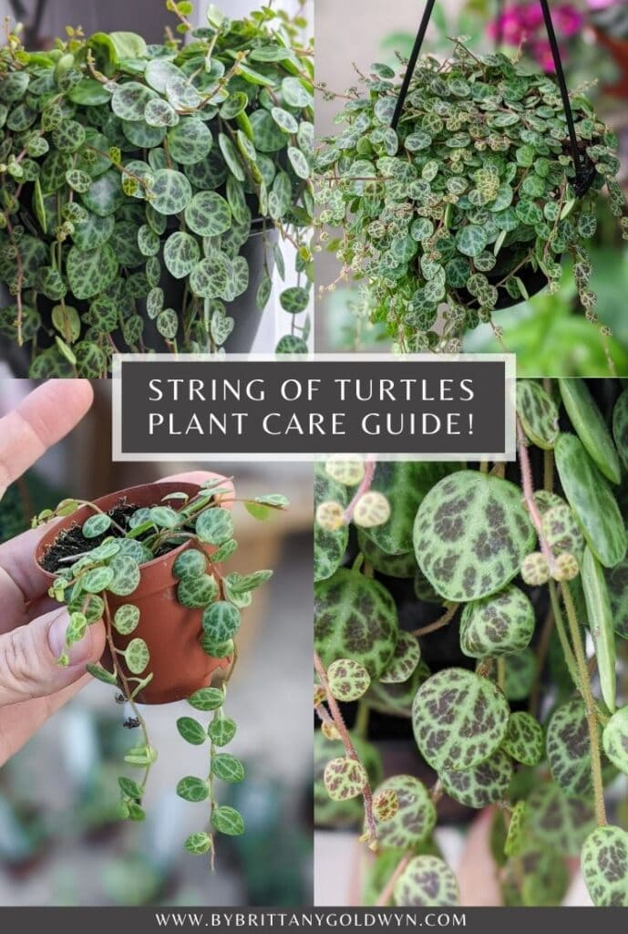 string of turtles care tips