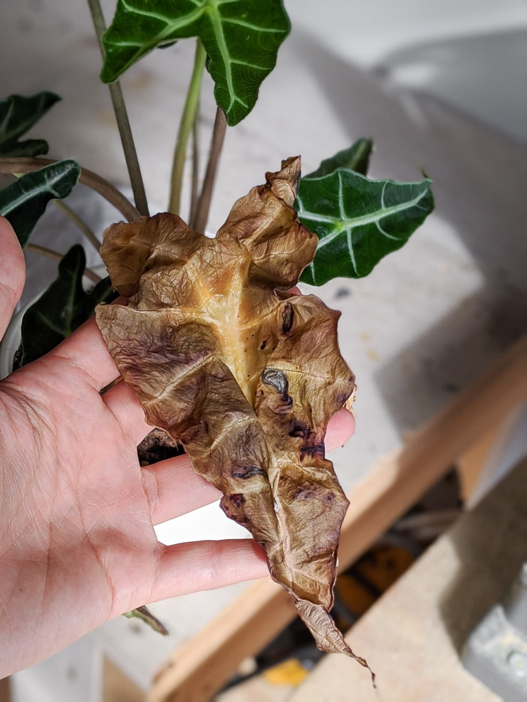 elephant ear plant with root rot