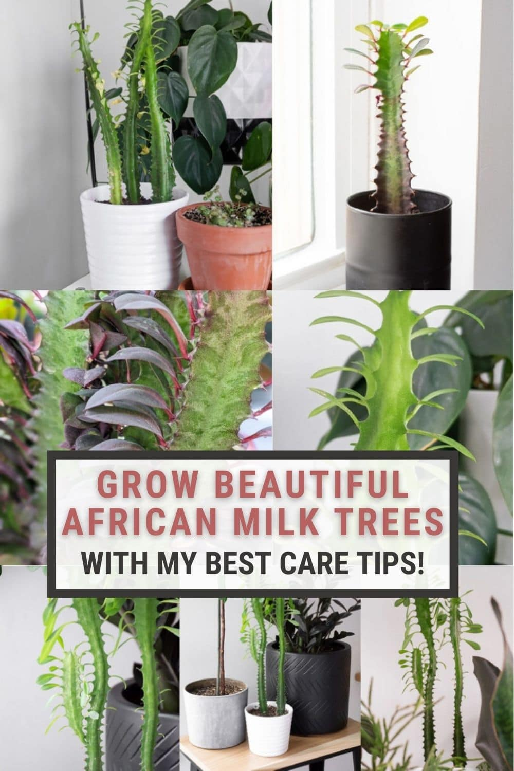 image collage of African milk tree care with text overlay