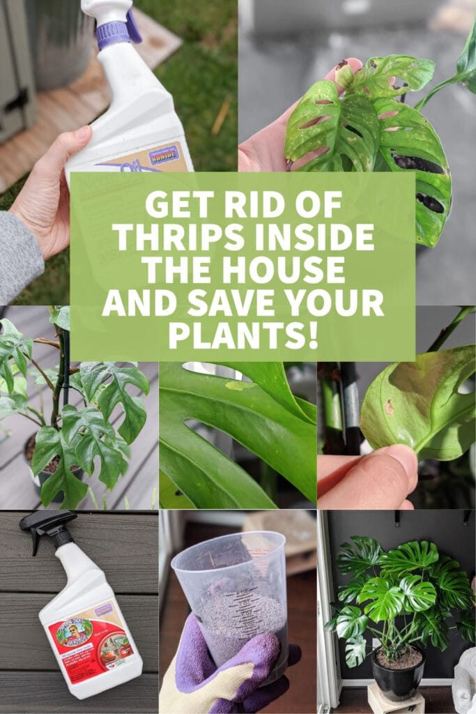 image collage of how to get rid of thrips inside with text Get rid of Thrips inside the house and save your plants!