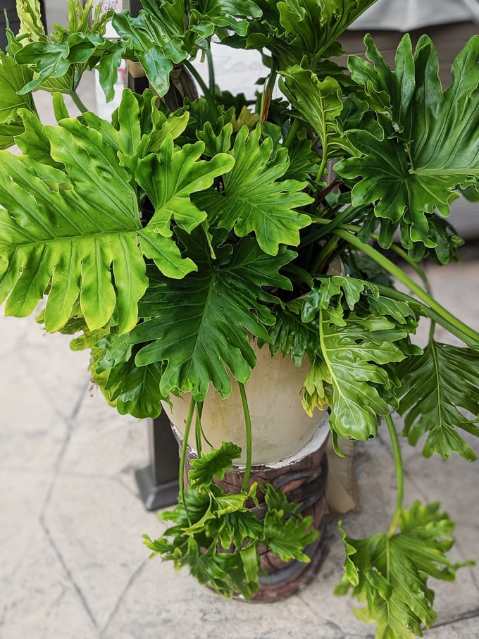 large philodendron selloum