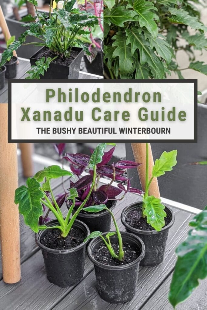 Image collage of Philodendron Xanadu care with text overlay