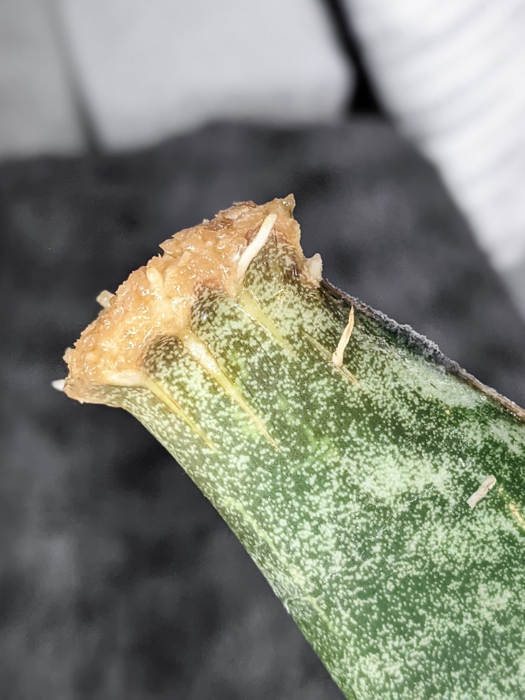 roots on a snake plant leaf