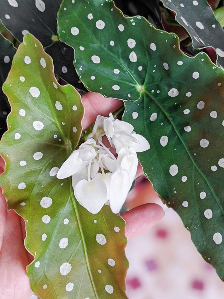 polka dot begonia flowering