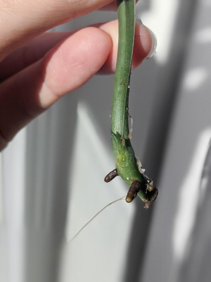 nodes on a scindapsus treubii