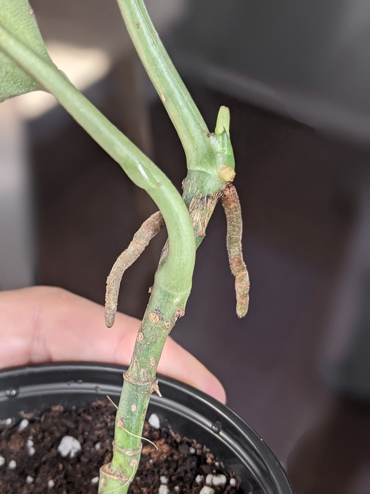 nodes and aerial roots on a scindapsus treubii