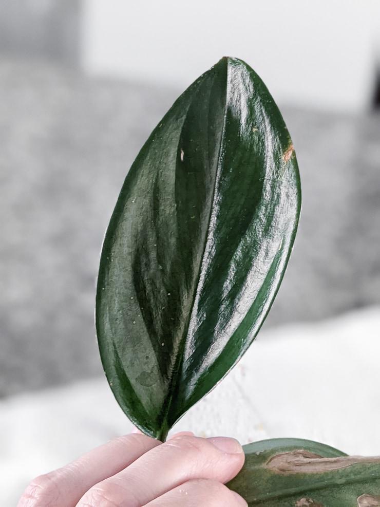 scindapsus treubii dark form leaf