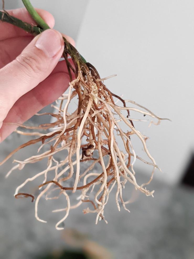 root system on  scindapsus treubii dark form