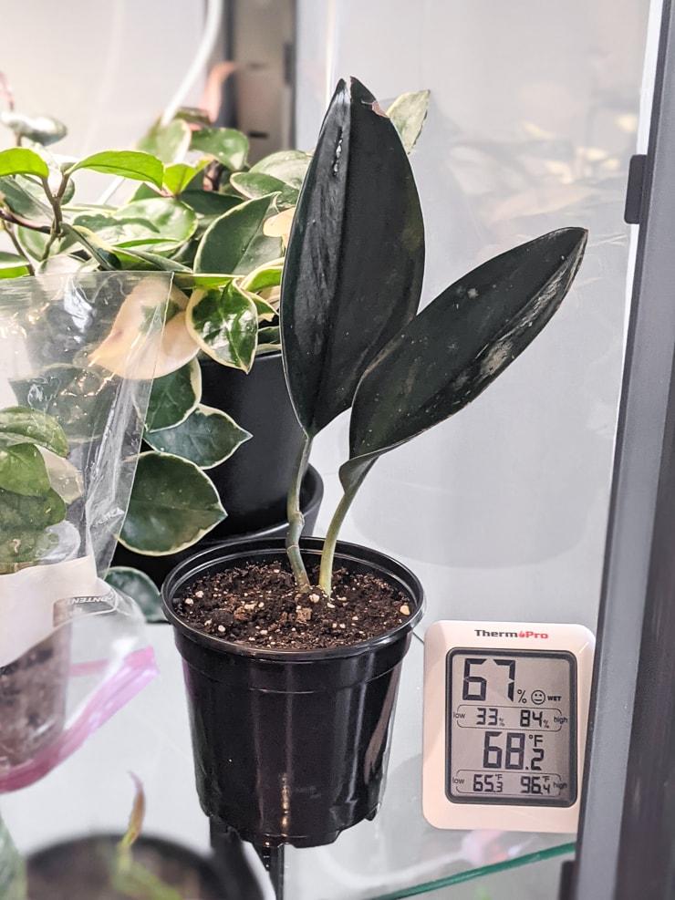 Scindapsus Treubii Dark Form plant