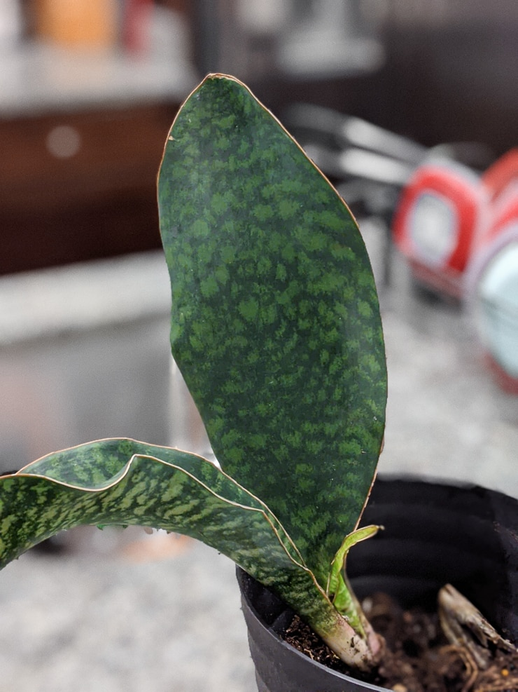 sansevieria masoniana care and propagation