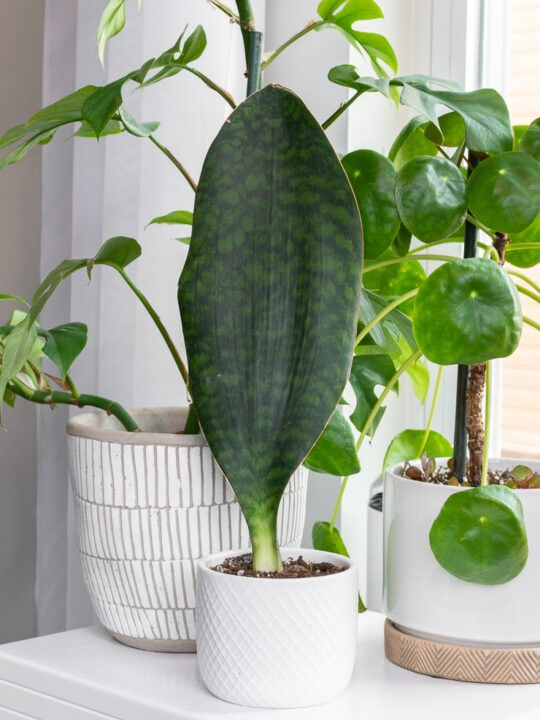 whale fin sansevieria care and propagation