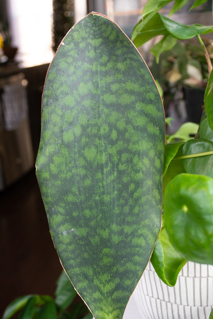 sansevieria masoniana markings