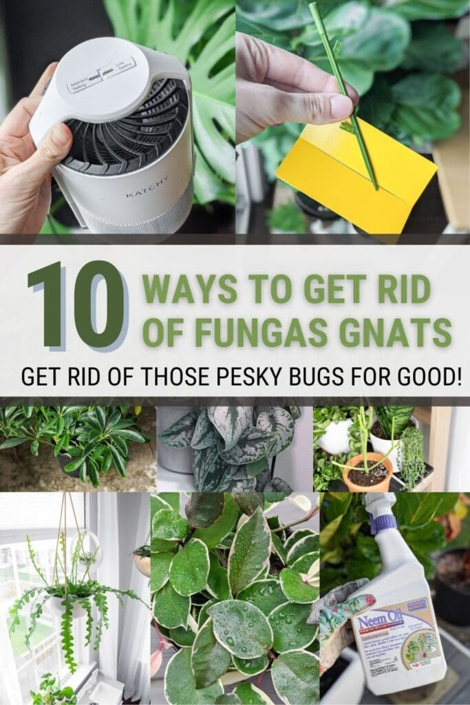 image collage of How to get rid of gnats in houseplants with text overlay