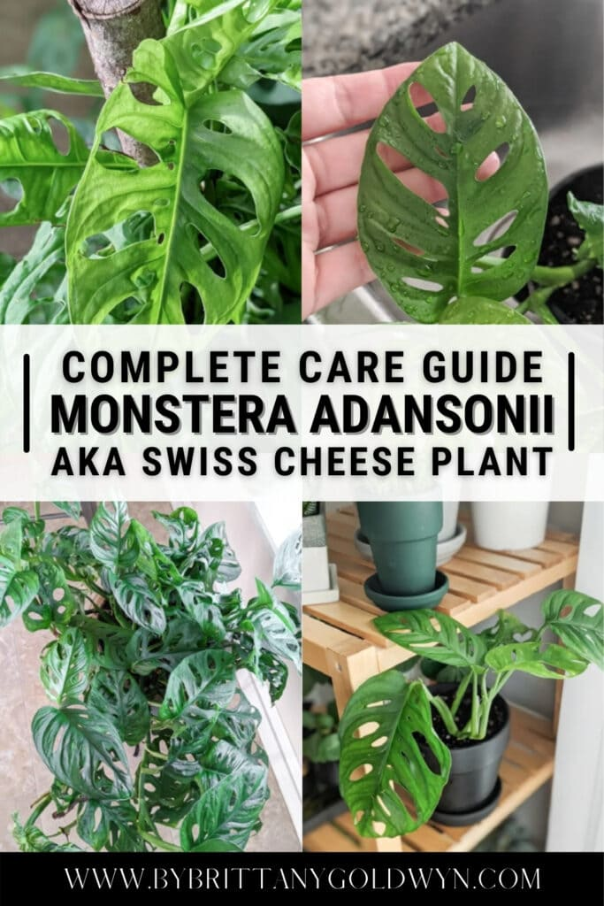 image collage of monstera adansonii with text overlay