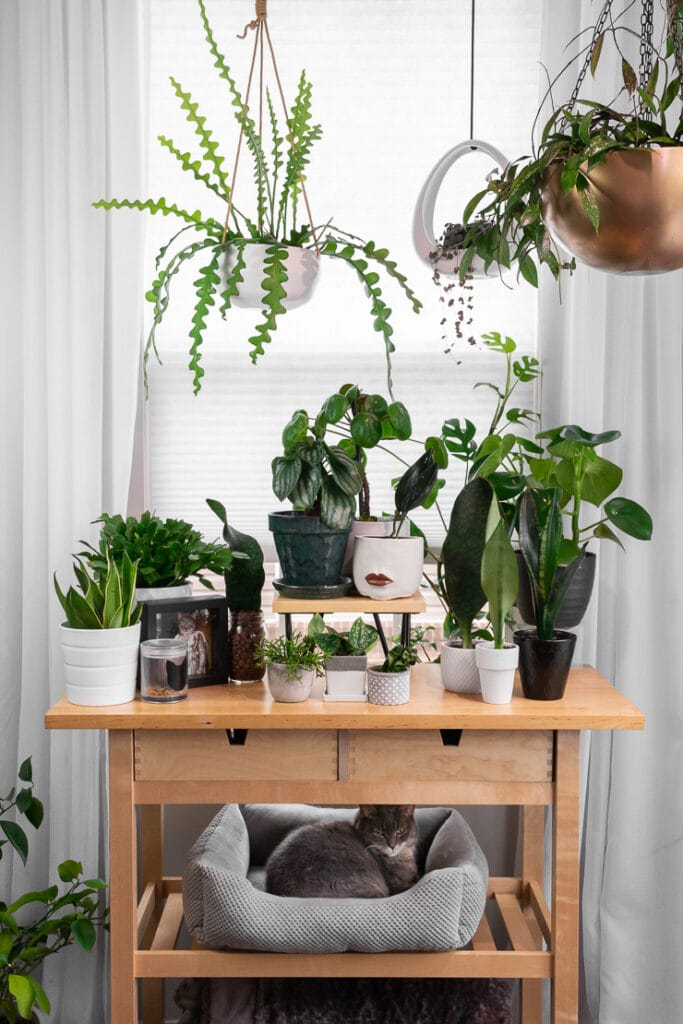 Plant stand with plants and text DIy Midcentury Plant Stand with Hairpin Legs