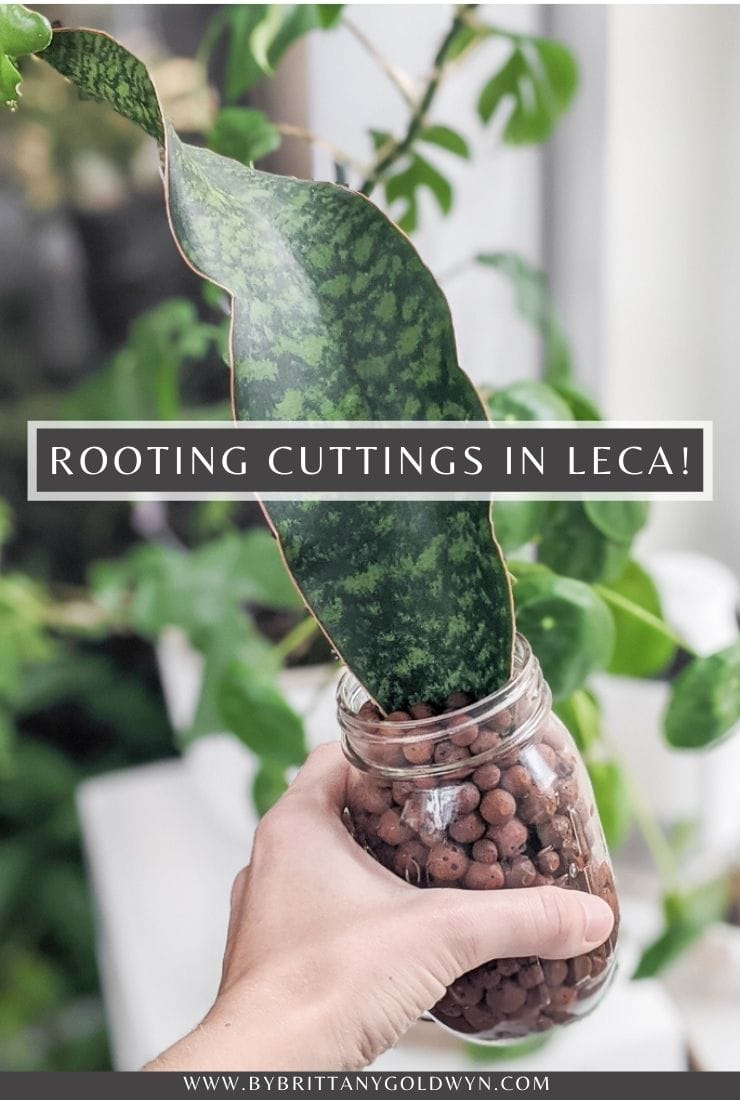 propagating cuttings in LECA